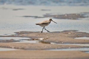 Kamishibai and Kites: Welcome home migratory shorebirds