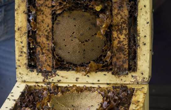 Native stingless bees and how to keep them