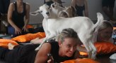 Goat Yoga at Country Paradise Parklands
